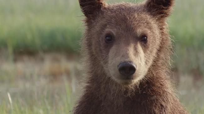 ������� / DisneyNature: Bears (2014)